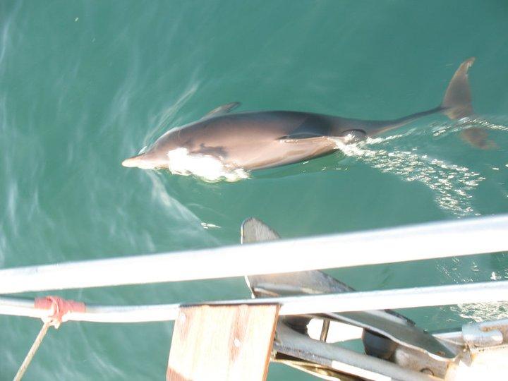 Poigravanje delfina